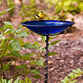 American Goldfinch At Water Bowl by Douglas Barnett