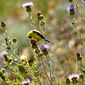 American Goldfinch by Ben Upham III