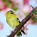 American Goldfinch by Betty LaRue