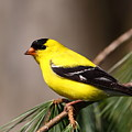 American Goldfinch by Bruce J Robinson