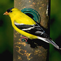 American Goldfinch by Craig Bohnert