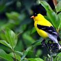 American Goldfinch by Darin Bokeno