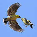 American Goldfinch Exchange by Wingsdomain Art and Photography