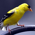 American Goldfinch by Glenn Gordon