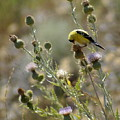 American Goldfinch Having Lunch On Bakery Hill by Ben Upham III