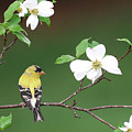 American Goldfinch In Dogwood by Alan Lenk