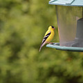 American Goldfinch No Food  by Ruth Housley
