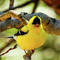 American Goldfinch On Aspen by Marilyn Burton