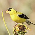 American Goldfinch On Sunflower by Dennis Hammer