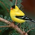 American Goldfinch by Raju Alagawadi