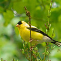 American Goldfinch Sittin' In A Tree by Emmy Vickers