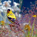 American Goldfinch With Seed by Sharon Talson