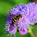 American Hoverfly by Betty LaRue