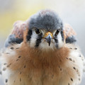 American Kestrel 1 by Chris Scroggins