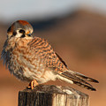 American Kestrel Giving Hunting Stare by Max Allen