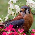 American Kestrel In The Springtime by Jill Lang