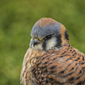 American Kestrel Portrait by Mitch Shindelbower