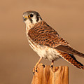 American Kestrel Surveying The Surroundings by Max Allen
