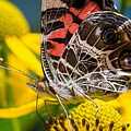 American Lady Butterfly by Brad Boland