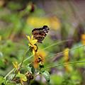 American Lady Butterfly Seaside by Karen Adams