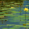 American Lotus by Rich Leighton