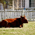 American Milking Devon In Spring by Rachel Morrison