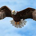 American National Symbol Bald Eagle With Wings Spread by Open Range