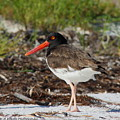 American Oyster Catcher by Barbara Bowen