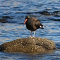 American Oystercatcher - 2 by Christy Pooschke