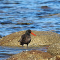 American Oystercatcher  by Christy Pooschke