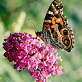 American Painted Lady by Donna Brown