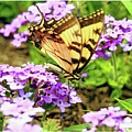 Yellow Eastern Tiger Swallowtail Series by Geraldine Scull