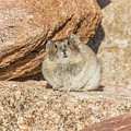 American Pika Focuses On The Camera by Tony Hake