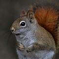 American Red Squirrel Portrait by Linda Crockett