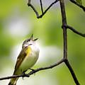 American Redstart Female 2 by Bill Wakeley