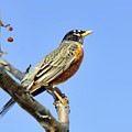 American Robin - 1 by Nikolyn McDonald