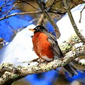 American Robin by Carol Montoya