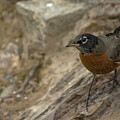 American Robin by Constance Puttkemery