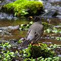 American Robin In Garden Springs Creek by Ben Upham III