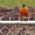 American Robin  In Spring          March            Indiana by Rory Cubel