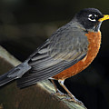 American Robin by Laura Mountainspring