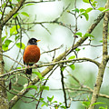 American Robin On Tree Branch by Sharon Talson