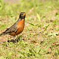 American Robin by Wesley Shuart