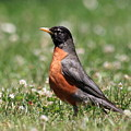 American Robin by Wingsdomain Art and Photography
