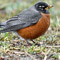 American Robin With Muddy Beak by Jeramey Lende