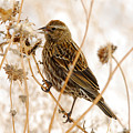 American Sparrow by Dennis Hammer