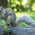 American Squirrel by Valerie Ornstein
