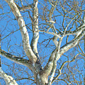 American Sycamore - Platanus Occidentalis by Mother Nature