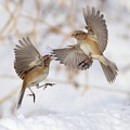 American Tree Sparrows by Alina Morozova