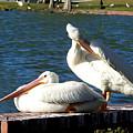 American White Pelican 001 by Chris Mercer